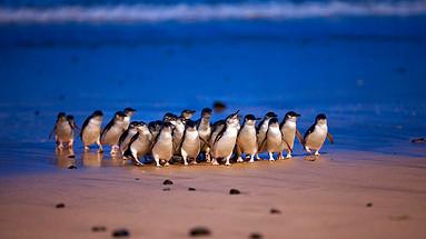 墨尔本企鹅岛三园套票(企鹅归巢+考拉中心+丘吉尔岛)Phillip Island